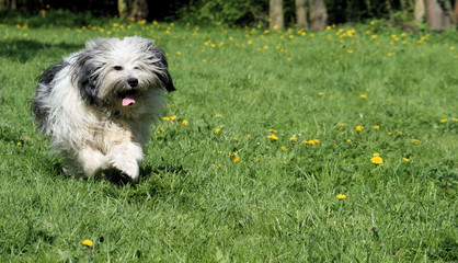 Running sheepdog