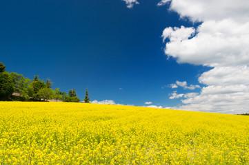 Oil seed rape field against blue sky