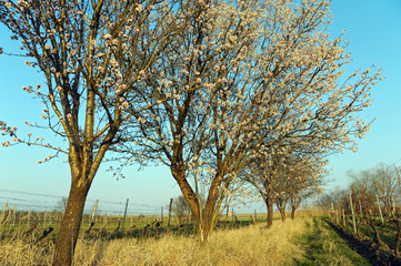 Mandelbüte im Burgenland