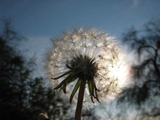 Пушистый одуванчик на фоне солнца