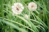 white dandelion - 64554146