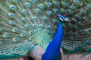 Peacock, Retiro Park, Madrid (Spain)