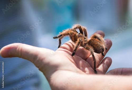 Leinwanddruck Bild Child holding a tarantula spider on her hand