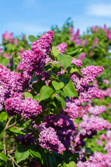 purple lilac bush blooming in May day. City park