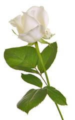 One White Rose Isolated