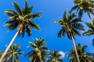 Coconut tree on summer