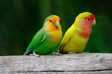 Lovebird