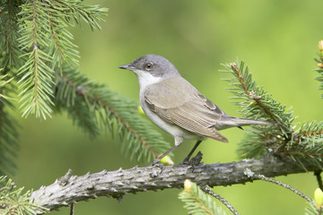lesser whitethroat  - close up / Sylvia curruca