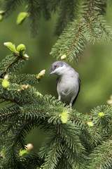 lesser whitethroat in natural habitat  / Sylvia curruca