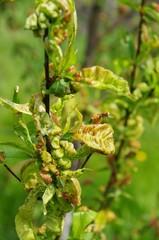 Kräuselkrankheit  - Leaf curl 10