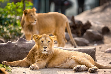 young lion resting