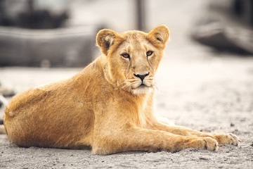 Portrait of beautiful lioness