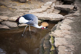 Grey Crowned Crane Kanvas Tablo