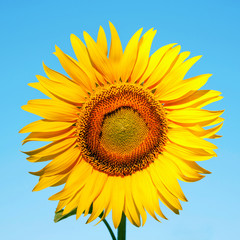 Sunflower on a background of blue sky.