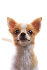 close up face of fancy pomeranian dog puppy isolated on white ba