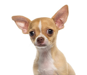 Headshot of a Chihuahua puppy (3 months old)