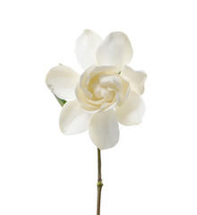 Isolated gardenia flower