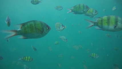 Group of coral fish in Andaman Sea near Krabi, Thailand
