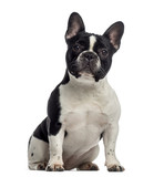 French Bulldog sitting (11 months old) - 64563564