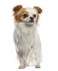 Chihuahua standing (1 year old)
