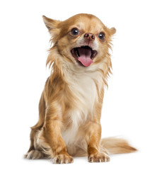 happy Chihuahua (4 years old)
