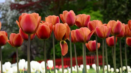 Orange tulips swaying in the wind.