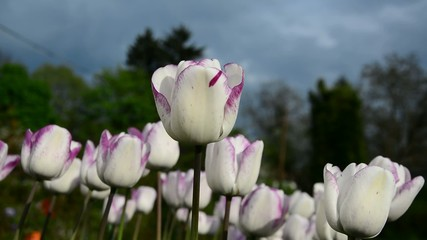White-purple tulips swaying in the wind at sunset.