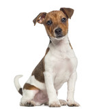 Jack Russell Terrier puppy sitting (3 months old) - 64564906
