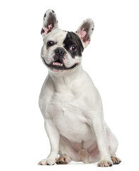 French Bulldog sitting (4 years old)