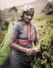 Tea Picker Picks Leaves in Sri Lanka