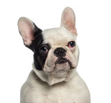 Headshot of a French Bulldog (9 months old) - 64565135