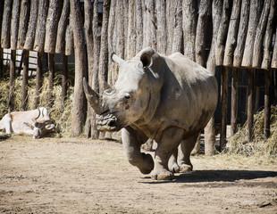 White rhinoceros and Addax