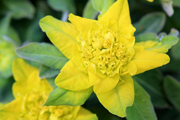 Yellow Flower of Euphorbia polychroma