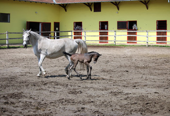 Lipizzaner horses and foal on farm