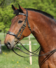 Amazing brown horse with beautiful bridle