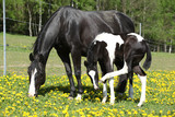 Beautiful mare with little foal on spring pasturage - 64568738