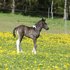 Beautiful paint horse foal on pasturage