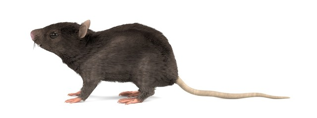 realistic 3d render of mouse