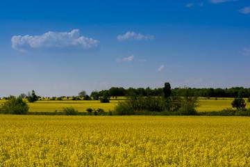 Rapsfeld in der Frühlingssonne