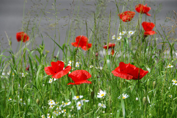 Poppies by the road