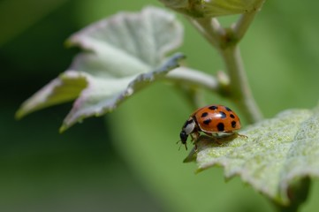 Ladybug on grape leaf