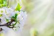 Kirschbaumblüte, Grußkarte