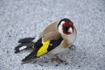 photo of goldfinch bird (carduelis carduelis)