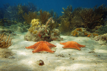 Two starfish underwater with corals