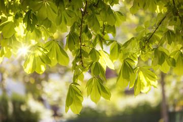 Blätter einer Rosskastanie im Frühling