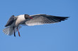 Seagull flying to you