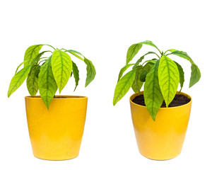 homegrown avocado plant in the flowerpot set of two isolated