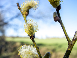 Flowering buds willow spring and fly
