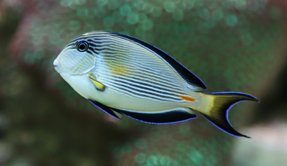 Close-up view of a Sohal surgeonfish, Acanthurus sohal