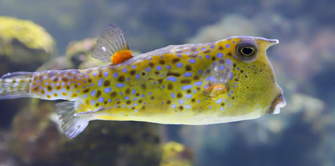 Close-up view of a Longhorn cowfish, Lactoria cornuta